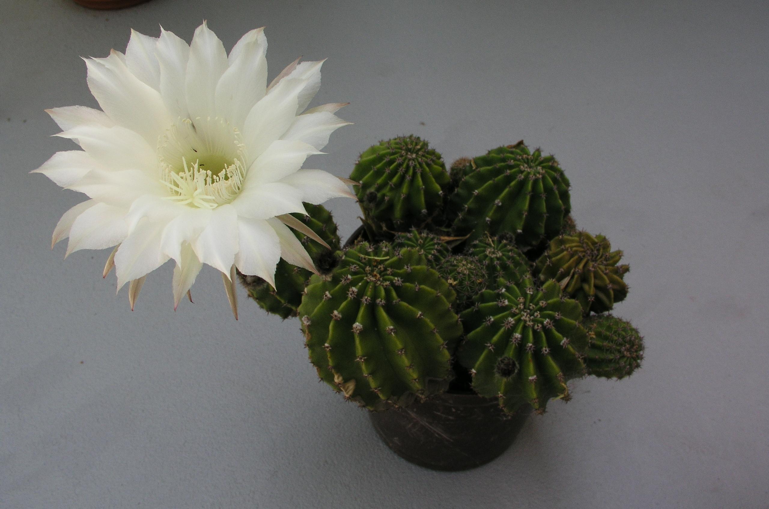Kaktus_cvijet.jpg