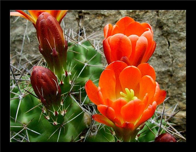 Red_kaktus.jpg