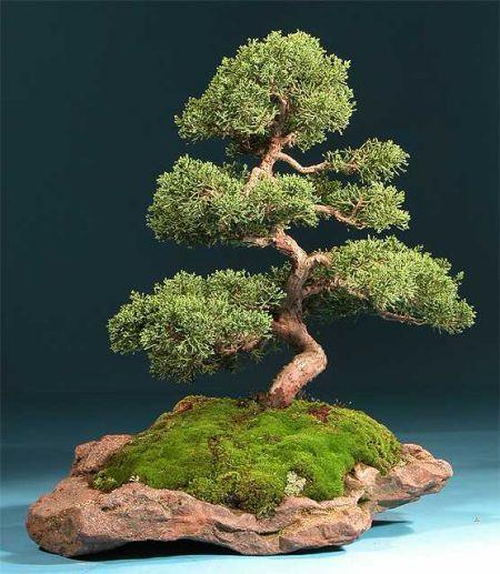 bonsai_moss.jpg