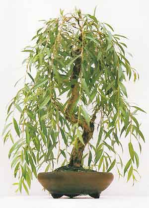 bonsai_willow_old5.jpg