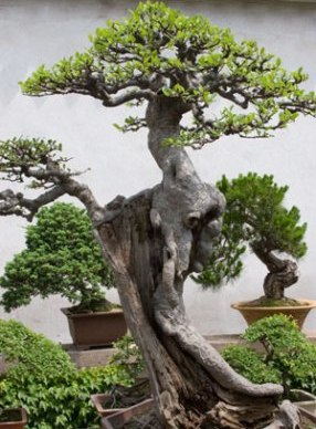large-bonsai-tree.jpg