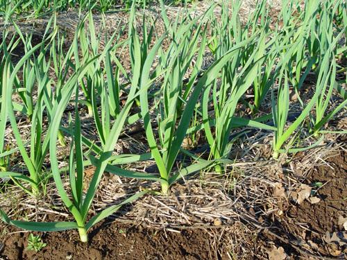 march-garlic-2005-L.jpg