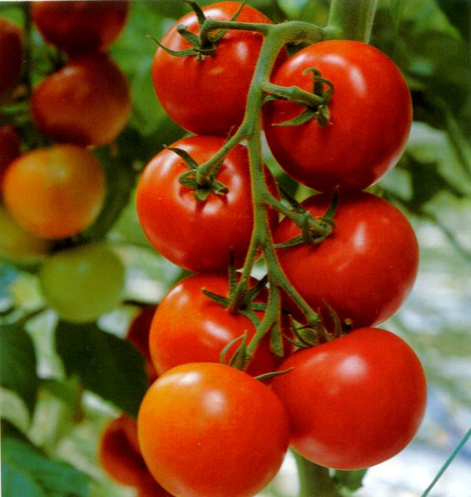 fc_tomatoOnVine.jpg